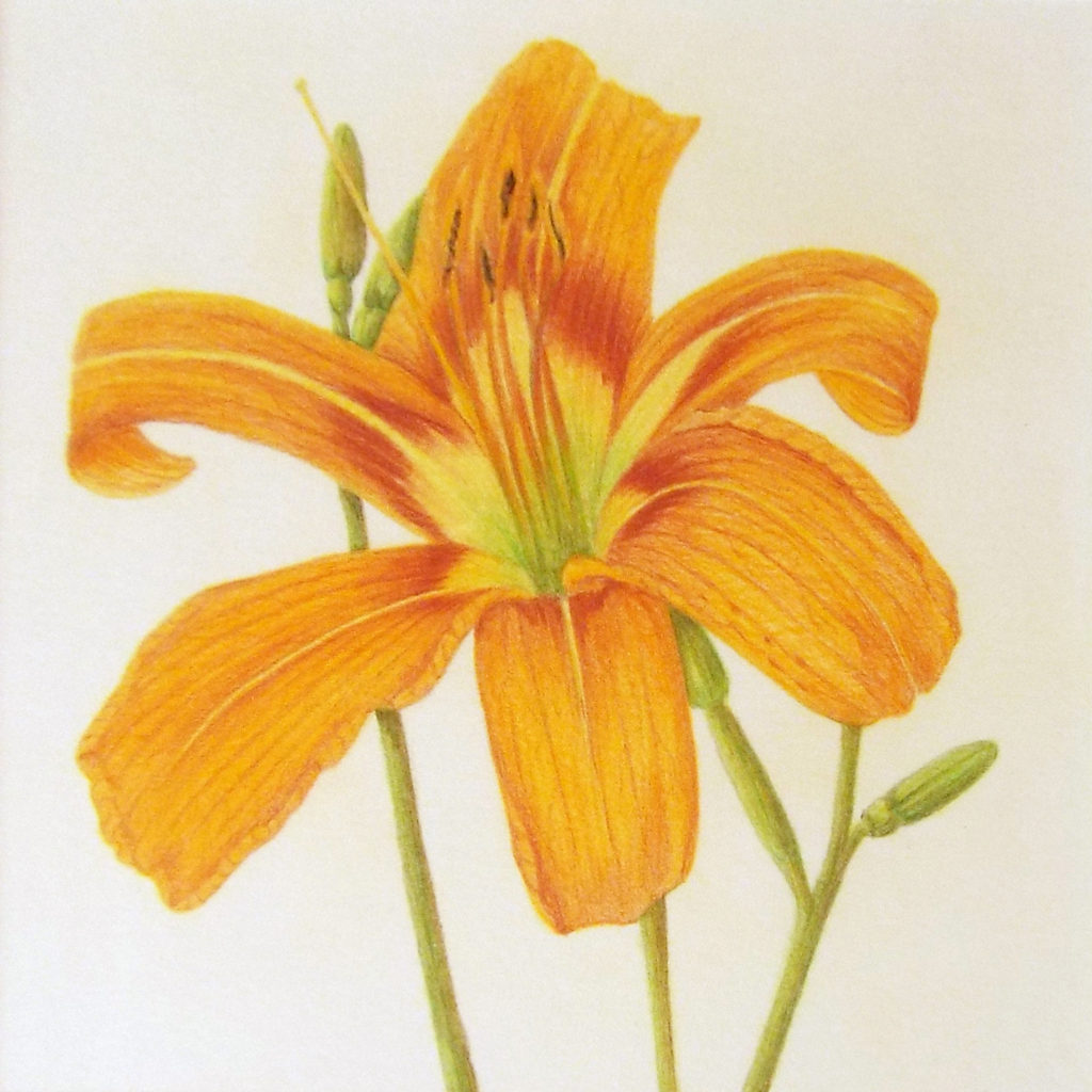 Lily, Colored Pencil by Paula Raudenbush - Size 6in x 6in (October 2016)