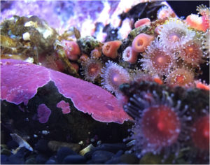 Purple Coral, Photography by Karen Julihn - Size 11in x 14in (February 2017)