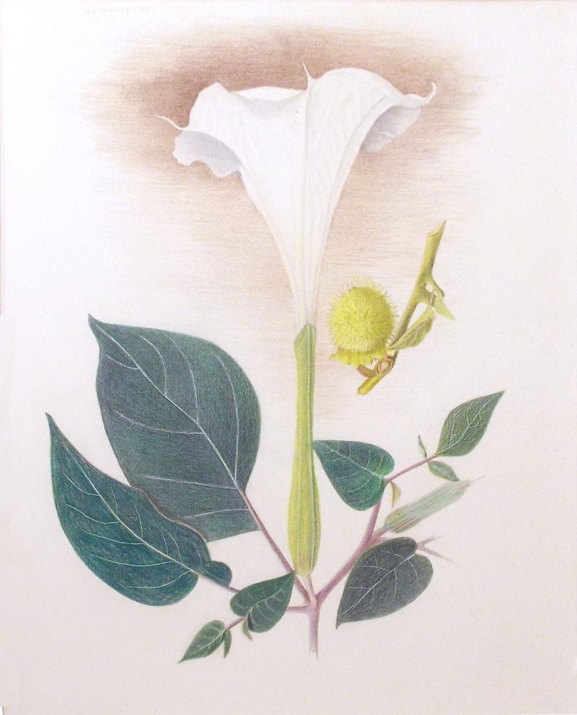 Sacred Datura, Colored Pencil by Paula Raudenbush - Size 13in x 10.5in (October 2016)