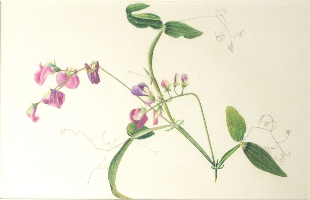 Wild Sweetpea, Colored Pencil by Paula Raudenbush - Size 7.5in x 12in (October 2016)