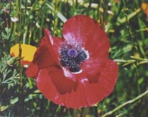 Red Poppy, Digital Photo by Carol Baker (October 2012)