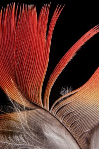 Feather,Macaw Type C, Print by James Henderson, 18in x 12in (July 2013)