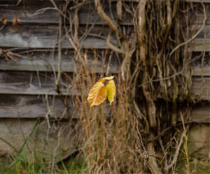 Matthias Point Yellow Leaf by Dawn Whitmore (CBTC: February 2019)