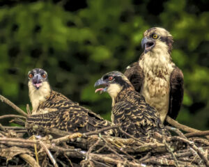 Mom and Chicks by David Boyd (CBTC October 2019)