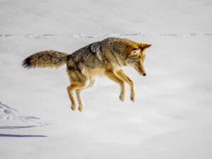 Yellowstone Coyote, Photography by David Boyd, 18in x 24in, $155 (February 2020)
