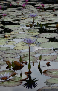 The Lotus Pond, Photograph by Lee Cochrane, 17in x 11in, $180 (Feb-May 2020 CBTC)